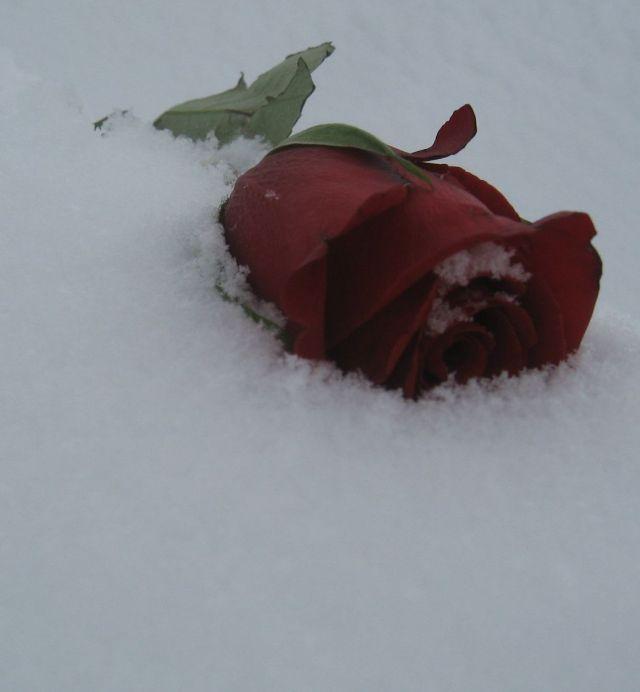 rose-neige