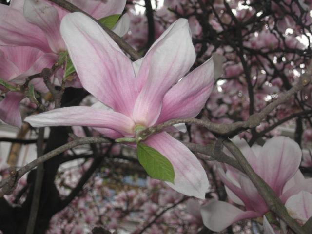 magnolii-2009-025