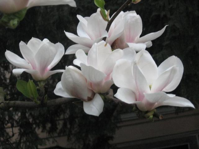 magnolii-2009-029