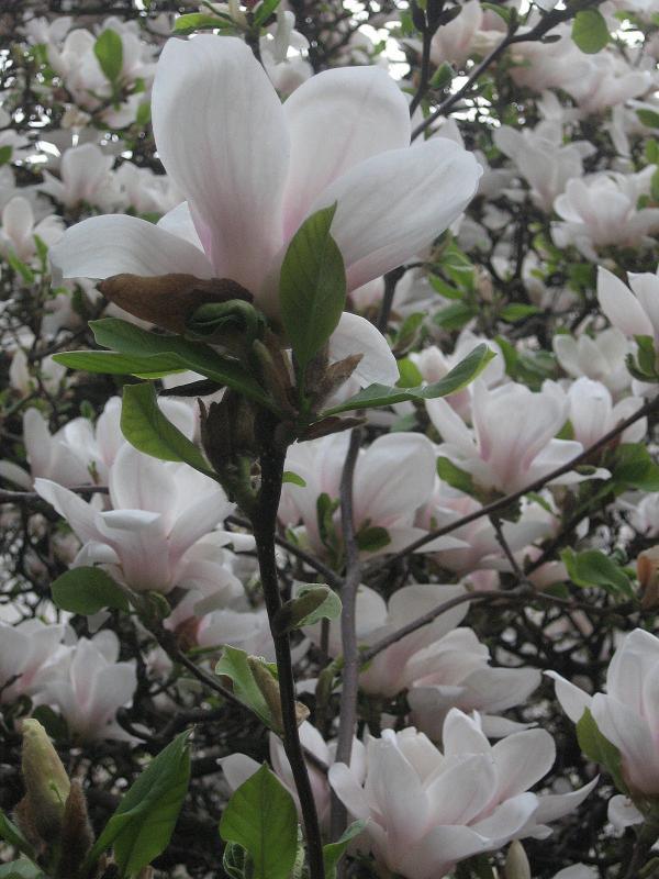 magnolii-2009-033