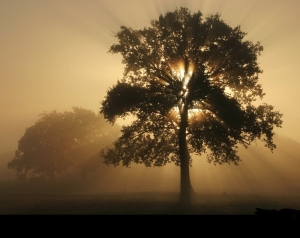 copacul fagaduintei